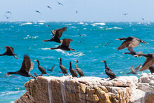 Rock Formation On The Shore With Double-crested Cormorants (Phalacrocorax Auritus)