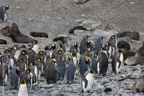 Fototapeta South Georgia colony of king penguins on a cloudy winter day