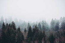 Mysterious Foggy Forest With Tall Trees, On A Cold Morning