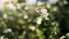 Close-up Of Snowberries In Schagen, Netherlands
