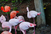 Beautiful Shot Of A Group Of Vibrant Flamingos Near A Pond