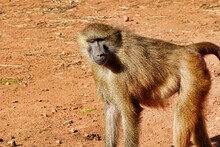Chacma Baboon Walking On A Desert Patch In The Zoo
