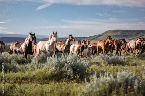 Fotografia galloping horse herd in Montana