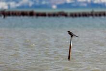 The Cormorant (Phalacrocorax Carbo), In The Lagoon Kalochori In Northern Greece