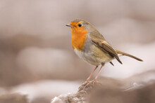 European Robin (Erithacus Rubecula) Or Robin Redbreast, Insectivorous Passerine Bird, Old World Flycatcher With Orange Breast With Grey Brown Upper-parts, Muscicapidae