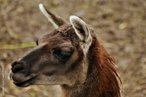 Fototapeta premium Close-up Of A Lama