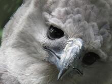Close-up Portrait Of Harpy Eagle