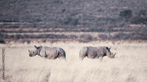 Two rhinos walking on a meadow
