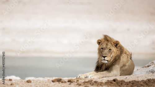 Foto Beautiful shot of a lion sitting on a windy field