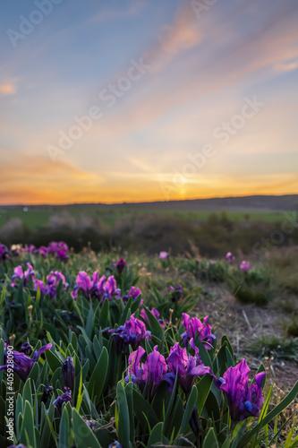 Fototapeta Dwarf iris in Pusty kopec u Konic near Znojmo, Southern Moravia, Czech Republic obraz
