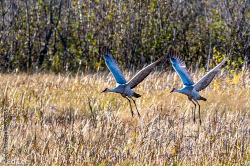 Fototapeta premium Sand Hill Cranes Flying Over A Field