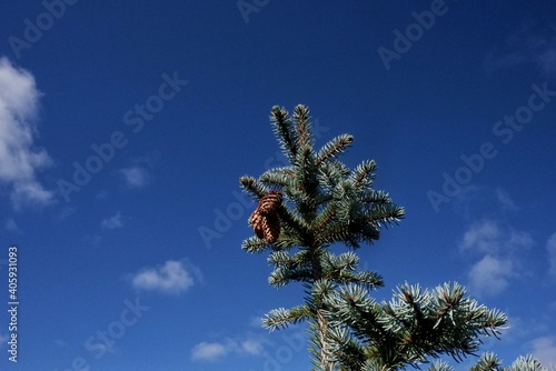 Fototapeta premium Spruce With Cones Against Blue Sky