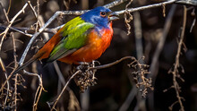 Painted Bunting In Great Falls Maryland Unusual Due To Winter Time, Possible Climate Change C&O Canal