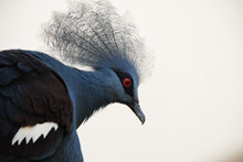 Western Crowned-Pigeon (Goura Cristata) Poses For Portrait At Smithsonian National Zoo In Washington, D.C.
