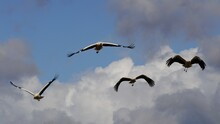 Low Angle View Of Storks Flying In Sky