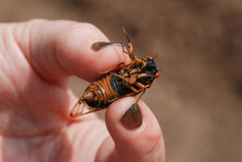 Periodical Cicada Held In Human Hand / Fingers During The 2013 Brood II Emergence In Staten Island, New York City