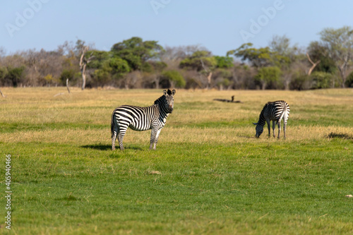 Fototapeta premium View Of Zebras On Field