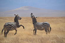 Two Zebras In The Landscape
