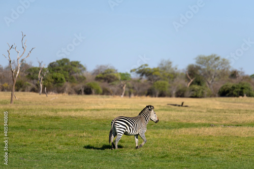 Fototapeta premium Zebra Crossing In A Field