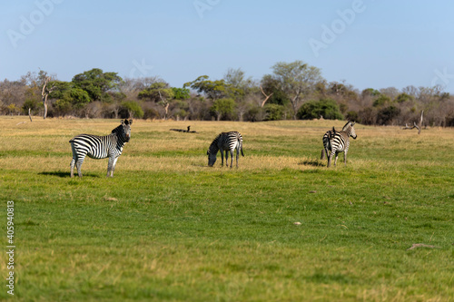 Fototapeta premium View Of Zebra On Grassy Field