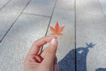 Cropped Hand Holding Maple Leaf During Autumn