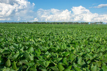 Soy Plantation In The State Of Mato Grosso Do Sul, Brazil