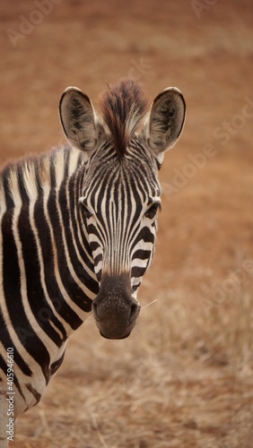 Fototapeta premium Close-up Portrait Of A Zebra