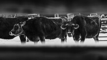Grayscale Shot Of Dairy Cows Through The Fence On The Farm During Winter