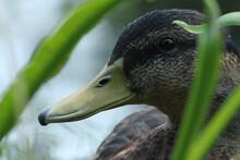 A Little Shy Duck