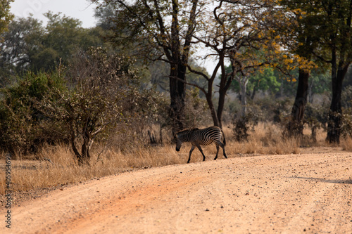 Fototapeta premium View Of A Zebra Walking In The Forest