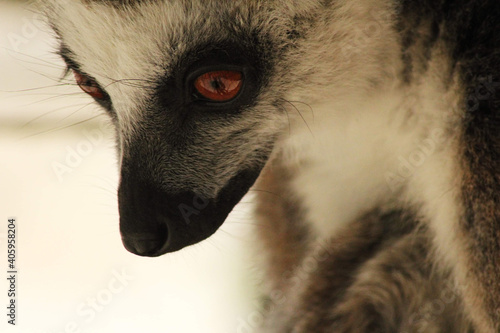 Fototapeta premium Close Up Portrait Of A Lemur