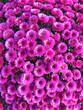 Leinwandbild Motiv High Angle View Of Pink Flowering Plants