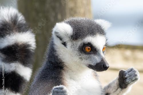 Fototapeta premium Close Up Portrait Of A Ring Tailed Lemur Sunbathing.