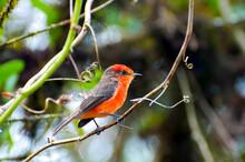 Vermilion Flycatcher - Galapagos - Ecuador