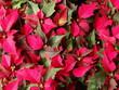Leinwandbild Motiv Full Frame Shot Of Red Flowering Plants