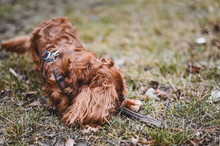 Cute Cavalier King Charles Spaniel Dog In A Park At Daytime
