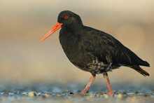 Variable Oystercatcher (Haematopus Unicolor), Point Chevalier, Auckland, New Zealand