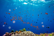 Beautiful Tropical Coral Reef With Shoal Or Red Coral Fish Anthias. Wonderful Underwater World With Corals, Tropical Fish