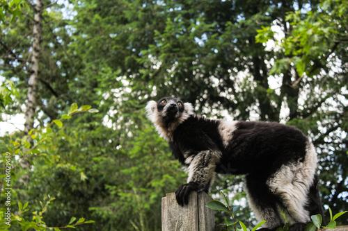 Fototapeta premium Closeup portrait of a single frightened lemur standing on a tree branch in a jungle