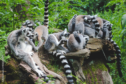 Fototapeta premium Cute ring-tailed lemurs huddled together on a tree branch in a jungle