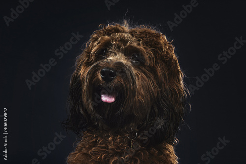 Fototapeta A hairy adorable Spanish water dog with sticking out tongue isolated on a black