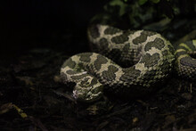 Closeup Shot Of A Dangerous Coiled Snake Crawling On A Wet Ground