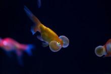 Beautiful Flowerhorn Cichlid Fish In Freshwater Tank Aquarium.