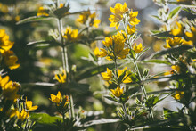 Bright Yellow Flower Loosestrife Spot Illuminated By The Bright Rays Of The Evening Sun. Selective Focus Macro Shot With Shallow DOF