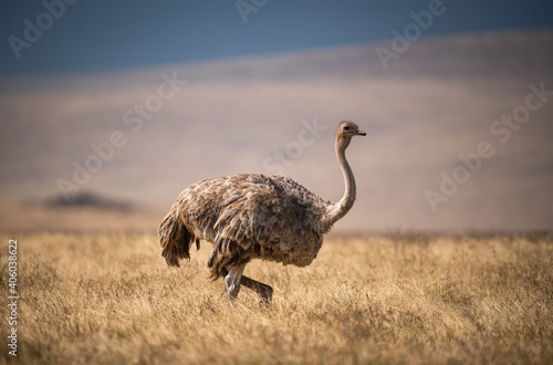 Fotografija Closeup of a female Masai Ostrich in a meadow in Ngorongoro Conservation Area, T