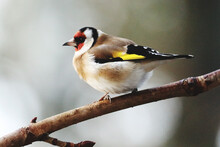 Close-up Of Gold Finch Perching On A Branch