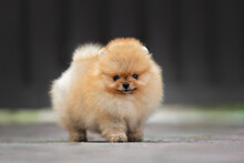 Small Red Pomeranian Spitz Puppy Standing Outdoors