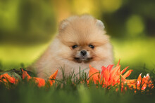Tiny Pomeranian Spitz Puppy Lying Down On Grass In Summer