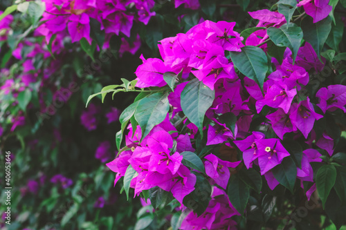 Photo blooming bougainvillea