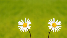 Two White Daisies In Blurred Grass Background